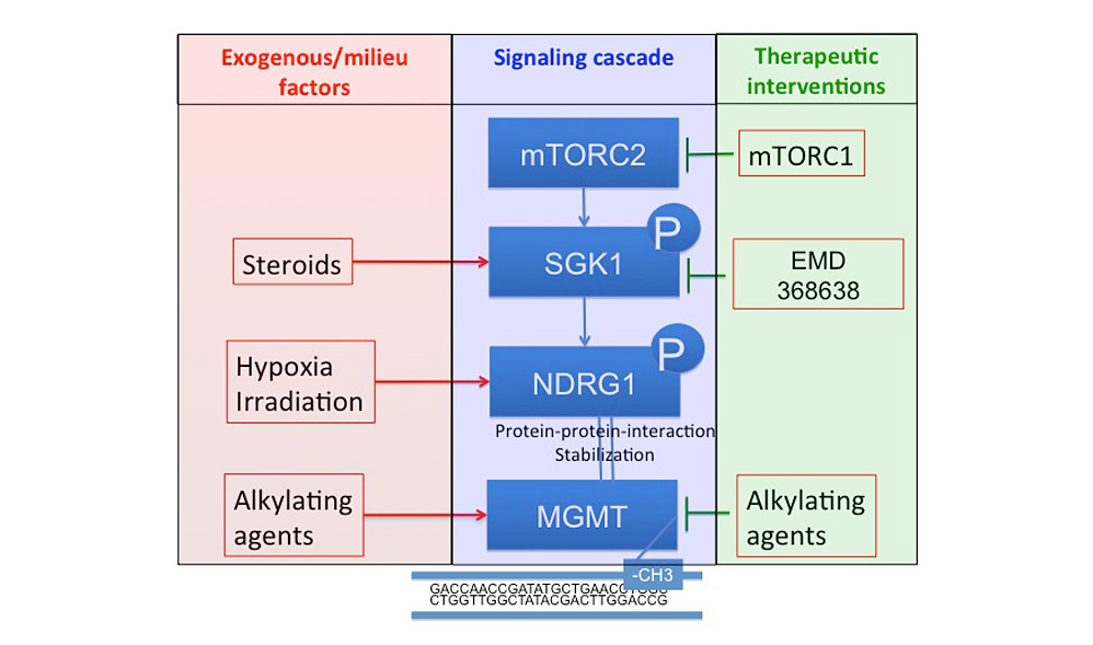 The mTOR target NDRG1