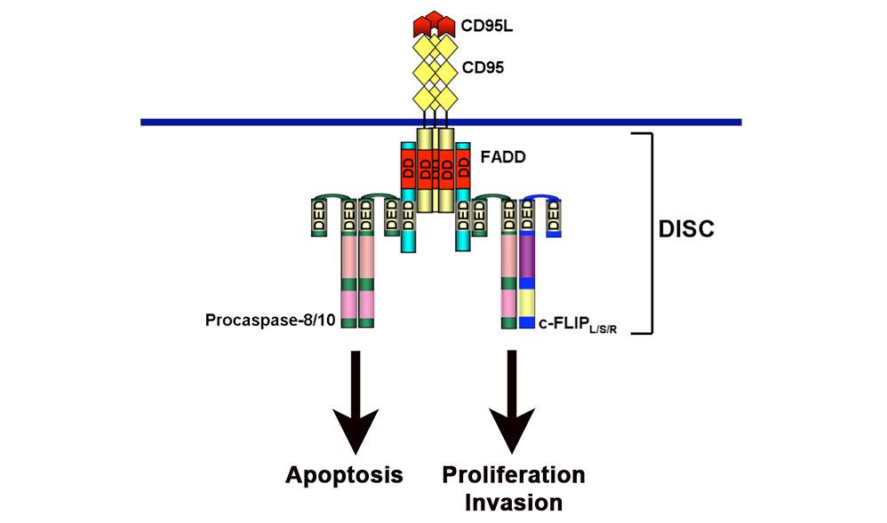 CD95 signaling