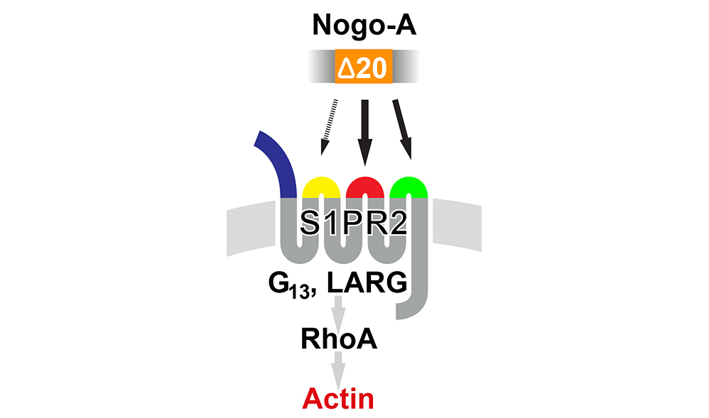 Schematic drawing of Nogo-A-20 - S1PR2 signaling