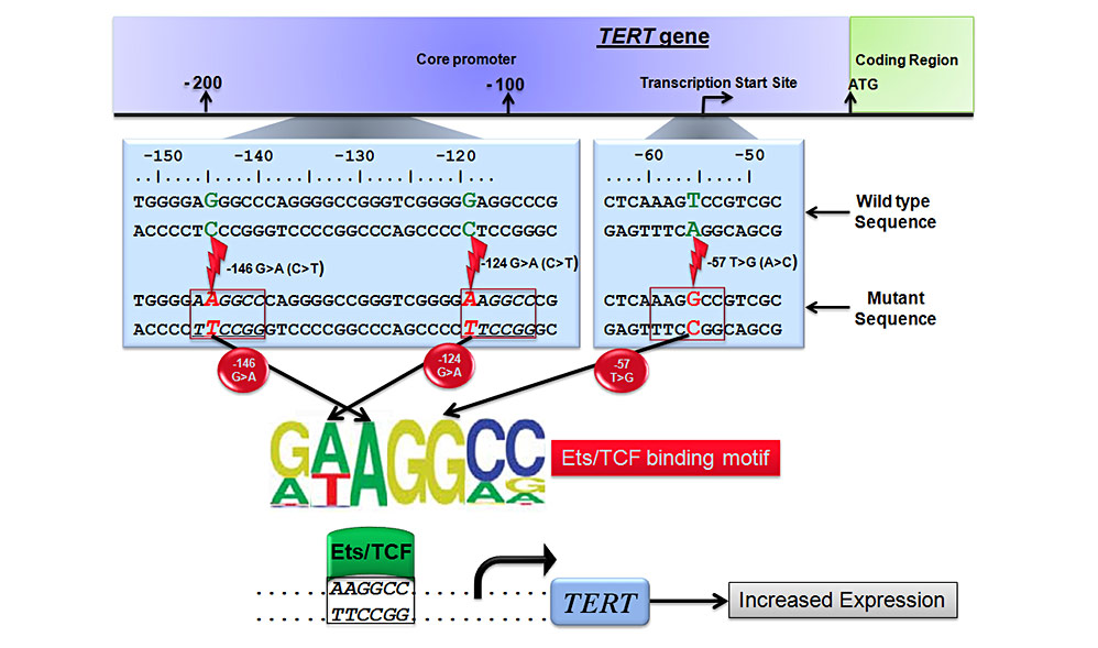Germline and somatic mutations in the human TERT promoter result