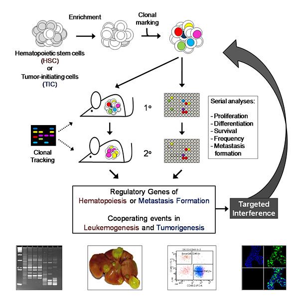 Angewandte Stammzellbiologie